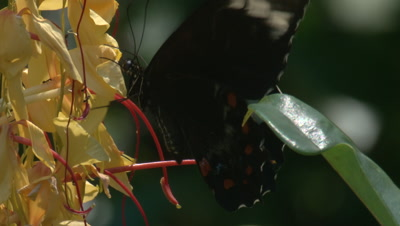A Butterfly forages on wildly grown Ginger Plants while fluttering