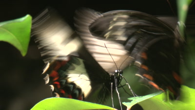Two Orchard Swallowtail Butterflies flutter in a courtship frenzy