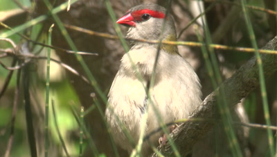 A Red-browed Finch preens on a branch and moves on