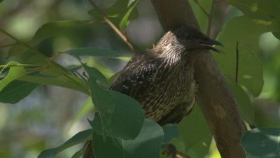 A Little Wattlebird calls while taking a break in a bush