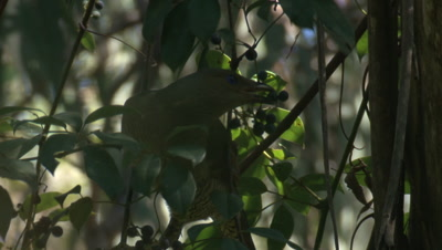 A Satin Bowerbird is eating berries of a vine and then flies off