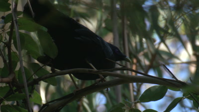 A male Satin Bowerbird appears to be excited on its perch