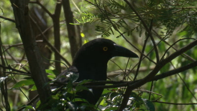 A Currawong eats a few berries and leaves