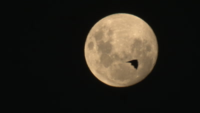 Flying Foxes pass a full moon on return from their food source
