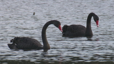 Two Black Swans are bottom feeding in a lake