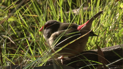 A Red-browed Finch leaves its perch in the grass