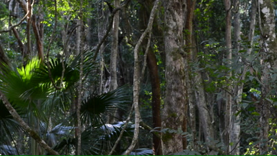 Pan of rainforest with lianas and cabbage-tree palms