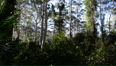 Pan to a cabbage-tree palm in a mixed forest with understorey
