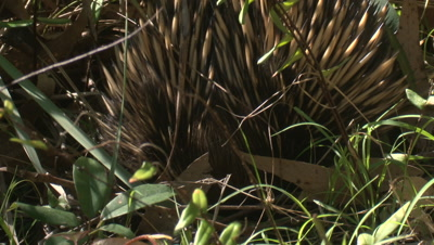 A Short-beaked Echidna forages on a forest's margin