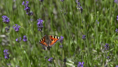 Small Tortoiseshell Butterfly, aglais urticae, Sucking Nectar from Laverder Flowers, Normandy, Slow motion