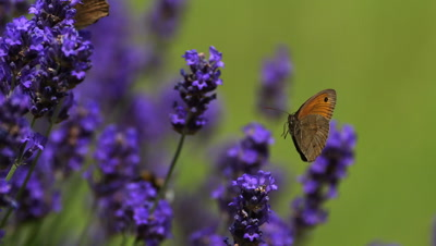 Gatekeeper Butterfly, pyronia tithonus, Sucking Nectar from Laverder Flowers, Normandy, Slow motion