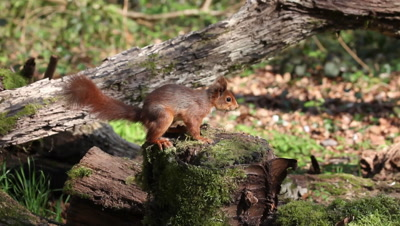 Red Squirrel, sciurus vulgaris, Adult Finding Hazelnut in Tree Stump and Walking away, Normandy in France, Real Time