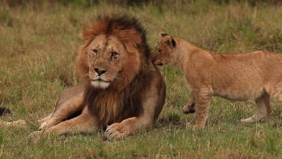 African Lion, panthera leo, Group standing near Bush, Cub playing with Male, Samburu Park in Kenya, Real Time