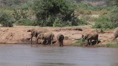African Elephant, loxodonta africana, Group drinking at River, Samburu Park in Kenya, Real Time