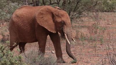 African Elephant, loxodonta africana, Adult eating and walking through Savanna, Samburu Park in Kenya, Real Time