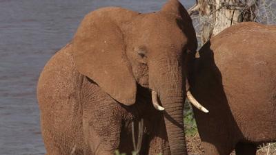 African Elephant, loxodonta africana, Adult coming from River, Samburu Park in Kenya, Real Time