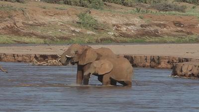 African Elephant, loxodonta africana, Adult and Calf crossing River, Spraying Water, Samburu Park in Kenya, Real Time