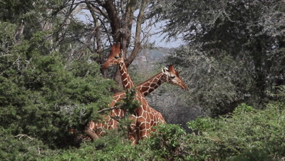 Reticulated Giraffe, giraffa camelopardalis reticulata, Adults fighting in Bush, Samburu Park in Kenya, Real Time
