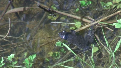 hill lake with fire belly toad and common frog eggs