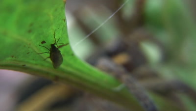 Raft spider fighting with red ant