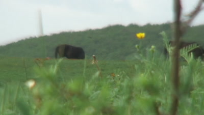 Hutsul pony stud in Aggtelek National Park zoom out to fertilizer with Earth-boring dung beetle