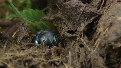 Earth-boring dung beetle in horse fertilizer