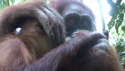 Orangutan mother with baby taking food from guide