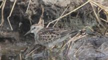 Least Sandpiper Feeds On Mudflat