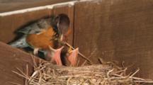 Nesting American Robin Feeding Chicks