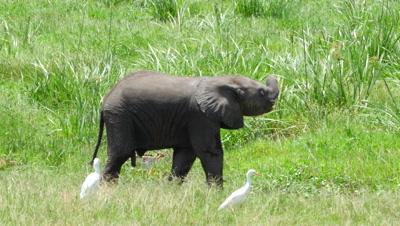 Cute baby elephant eats and swings his trunk in Amboseli,Kenya WIDE 4K