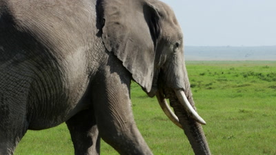 Female elephant eats and walks closeup Amboseli Kenya 4K horizontal pan stunning