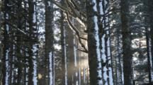 Sun Shines Through Sitka Spruce Forest In Winter In Kodiak, Alaska, Woods, Trees