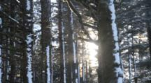 Sun Shines Through Sitka Spruce Forest In Winter In Kodiak, Alaska, Woods, Trees, Snow, Snowing