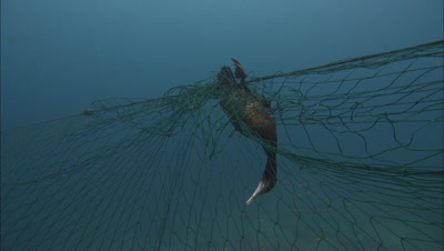 Cormorant Bird In Gill Net