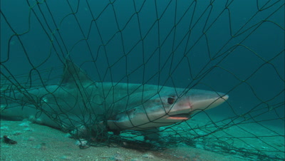 Soupfin Shark In Gill Net