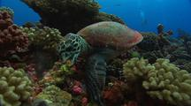 Hawksbill Turtle Feeds On Sponge