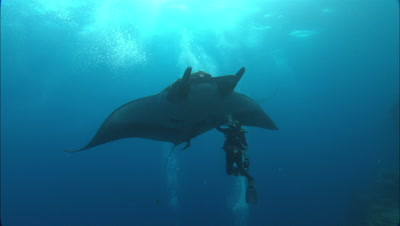 Diver Touches Manta Ray