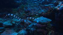 Sea Snake Forages On Reef