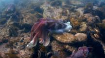 Giant Cuttlefish Spawning, Mating Behavior In South Australia