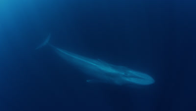 Blue Whale Swims Below Camera In Southern California