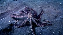 Mimic Octopus, Thaumoctopus Mimicus, Moving On Sand