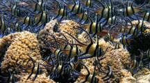 Banggai Cardinal Fish, Pterapogon Kaudemi