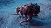 Coconut Octopus Eating Crab And Walking