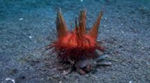 Carrier Crab With Fire Urchin Preens Antenae