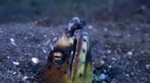 Blacksaddle Snake Eel, Ophichthus Cephalozona, With Shrimp On Its Nose