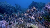 Banggai Cardinal Fish, Pterapogon Kaudemi Over Reef