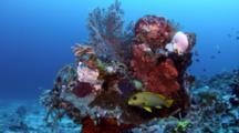 Ribbon Sweetlips (Plectorhinchus Polytaenia) Next To Reef