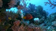 Beautiful Reefscape With Coral Grouper (Cephalopholis Miniata)