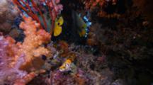 Yellow-Mask Angelfish (Pomacanthus Xanthometopon)