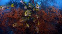 Ribbon Sweetlips (Plectorhinchus Polytaenia) In Black Coral